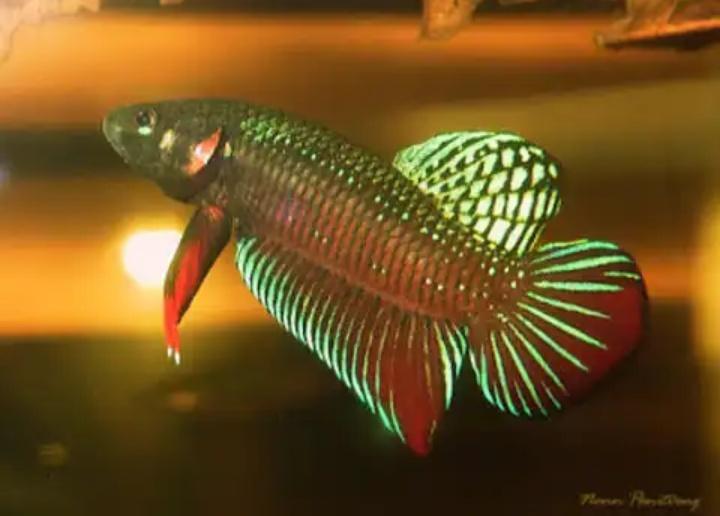 Ikan cupang alam