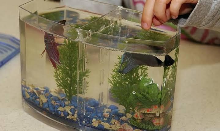 Tips mengatasi perut kembung pada ikan cupang